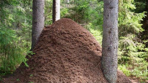 к чему снится муравейник с муравьями