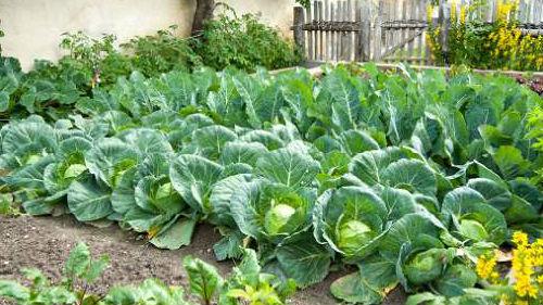 кочаны капусты на огороде