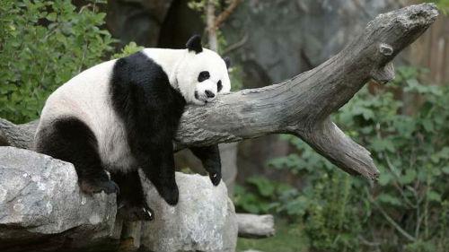 мертвая панда