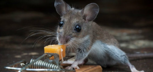 к чему снится убить мышь