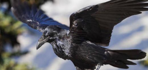 черная птица во сне