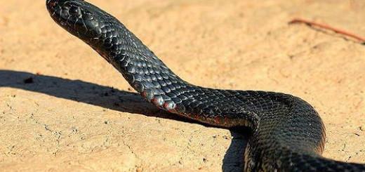 черная змея во сне