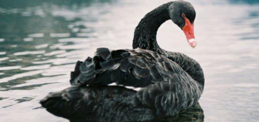 черный лебедь во сне