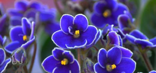цветы фиалки во сне