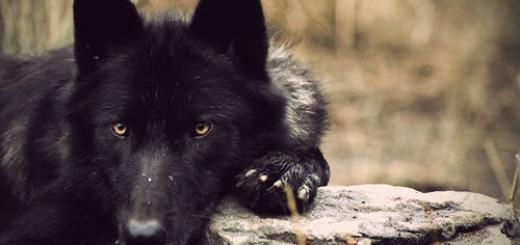 черный волк во сне