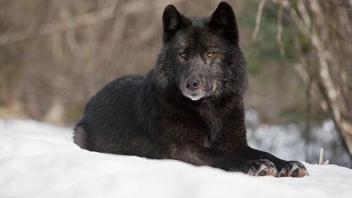 к чему снится черный волк женщине