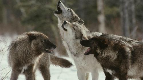видеть стаю волков