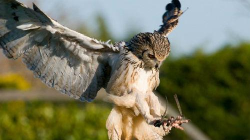 к чему снится филин или сова коричневая