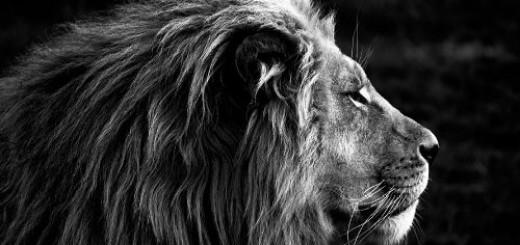 черный лев во сне
