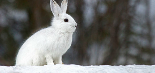 белый заяц во сне