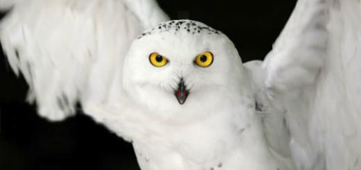 белая сова во сне