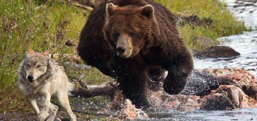 волк и медведь во сне