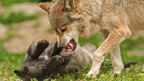к чему снится что волк кусает
