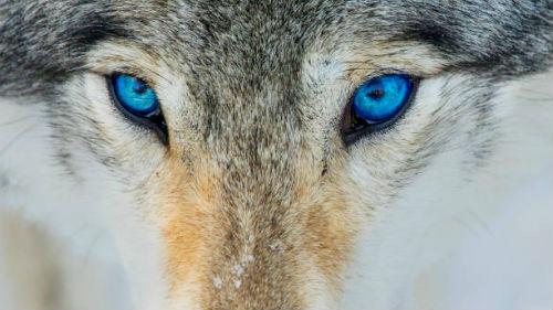 волк с необычными глазами