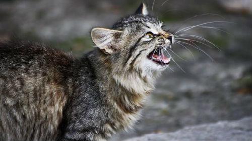 к чему снится говорящий кот