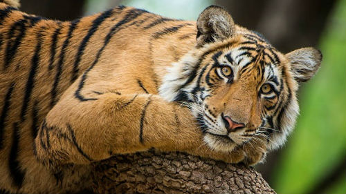 добрый тигр во сне