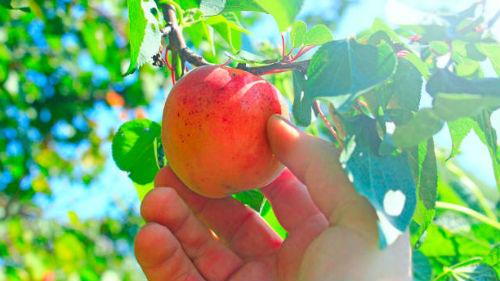 свежий плод
