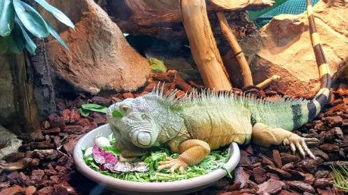 видеть игуану на блюде