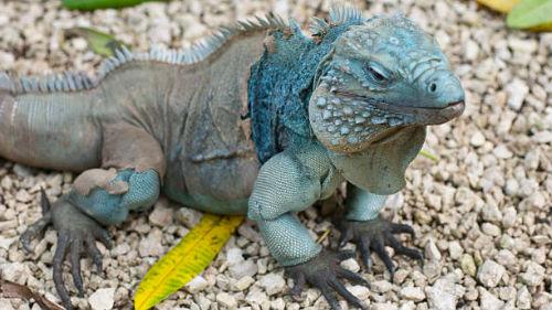 голубая рептилия