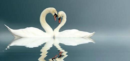 лебеди на воде во сне