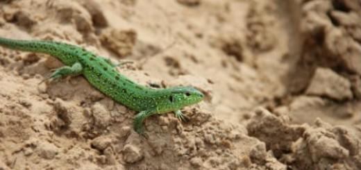 зеленая ящерица во сне