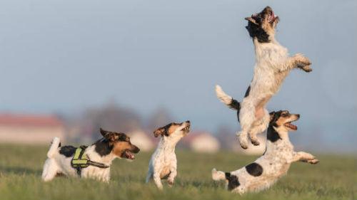 игривые собачки