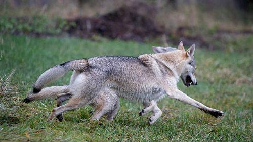 догонять волка