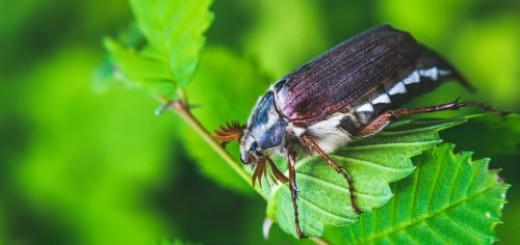 майский жук во сне