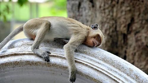мертвая обезьяна во сне