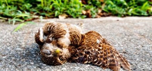 мертвая сова во сне