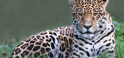 ягуар во сне