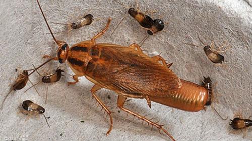 рыжие большие тараканы и маленькие