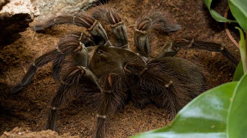 сонник большой паук