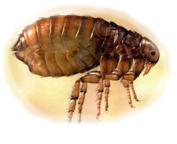 паразиты голове человека лечение