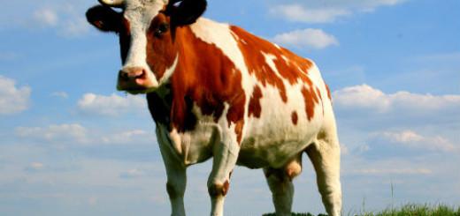 сонник корова