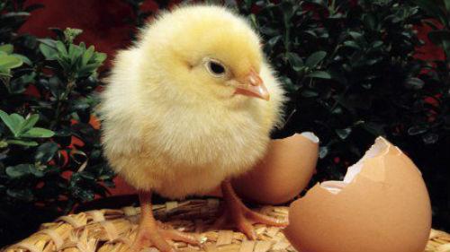 куриное яйцо и ципленок