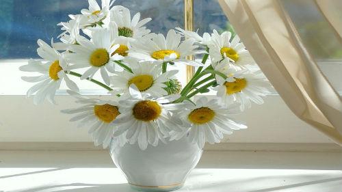 белые ромашки букет в вазе