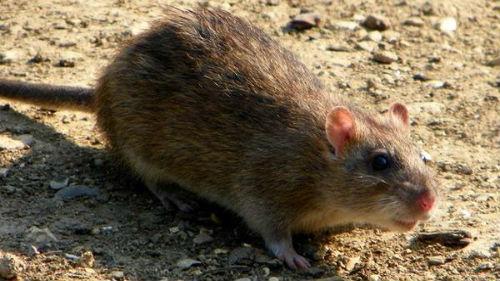 видеть крысу во сне