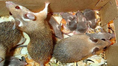 К чему сниться беременная мышь