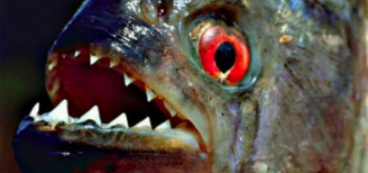 сонник рыба