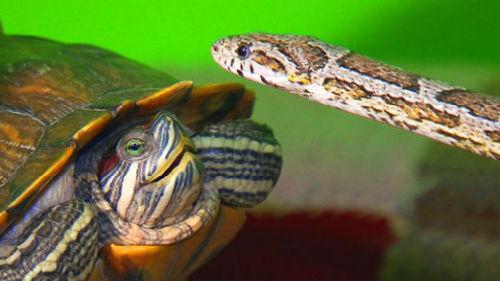 змея и черепаха