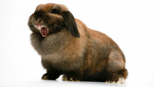 черный кролик нападает