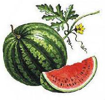 Сонник арбуз
