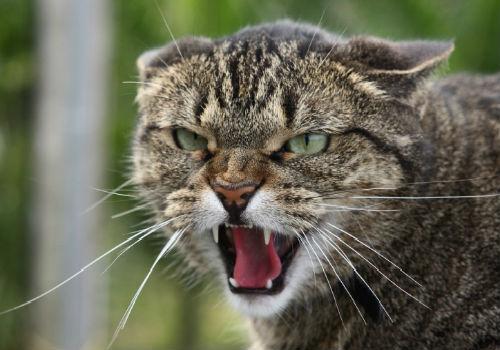 кошка нападает