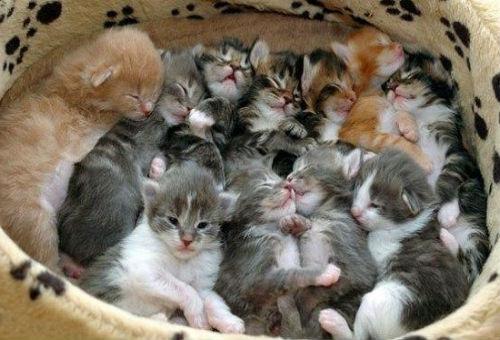 Если с много кошек котятами снится