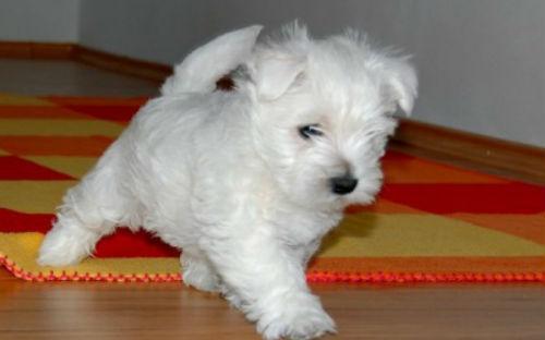 Собака белая чему снится умершая к