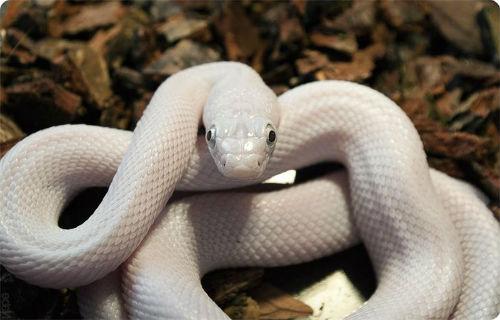 Белая змея по соннику