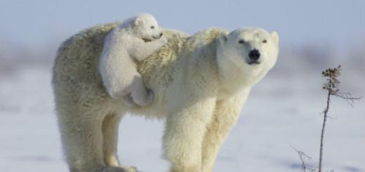 Белый медведь толкование сонника