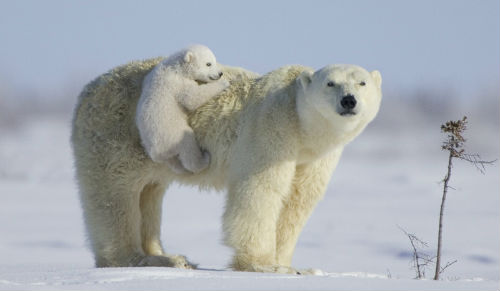 Сонник толкование снов белый медведь фото
