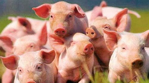 много свиней